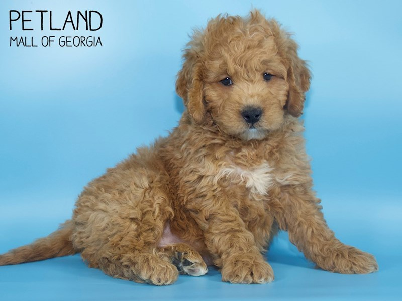 Miniature Goldendoodle 2nd Gen-Male-Red-2724108-Petland Mall of Georgia