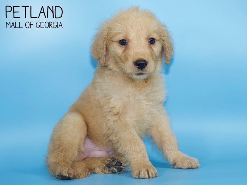 Golden Retriever-Male-Golden-2721341-Petland Mall of Georgia