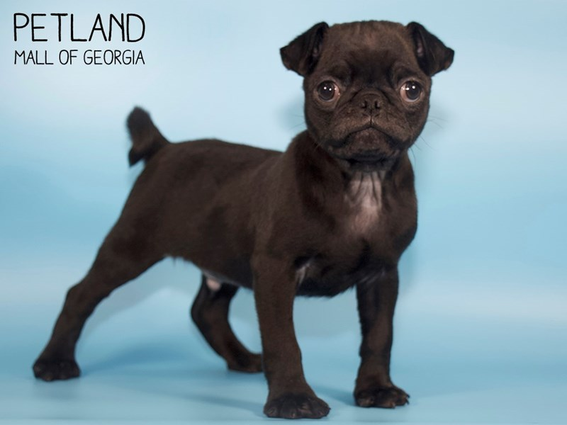 Pug-Male-Black-2710535-Petland Mall of Georgia