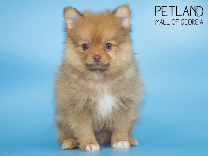 Pomeranian-Male-Red Sable-2717510-Petland Mall of Georgia