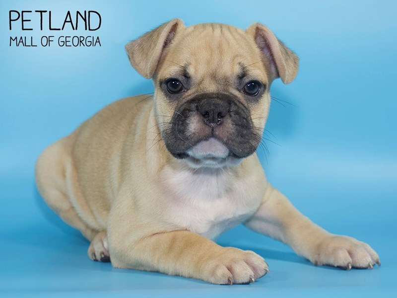 French Bulldog-Male-Fawn-2724110-Petland Mall of Georgia