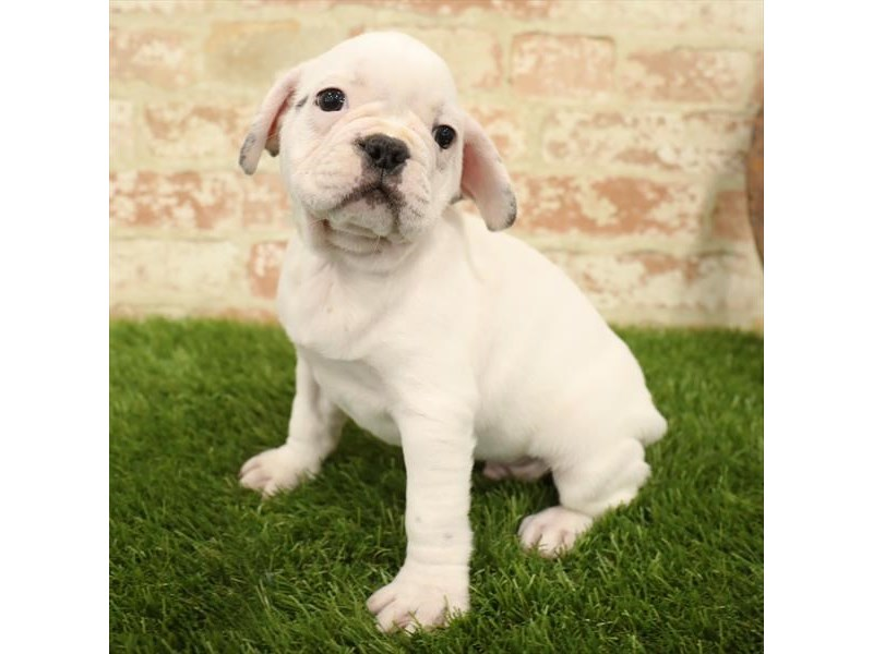 French Bulldog-Male-White-2731225-Petland Mall of Georgia