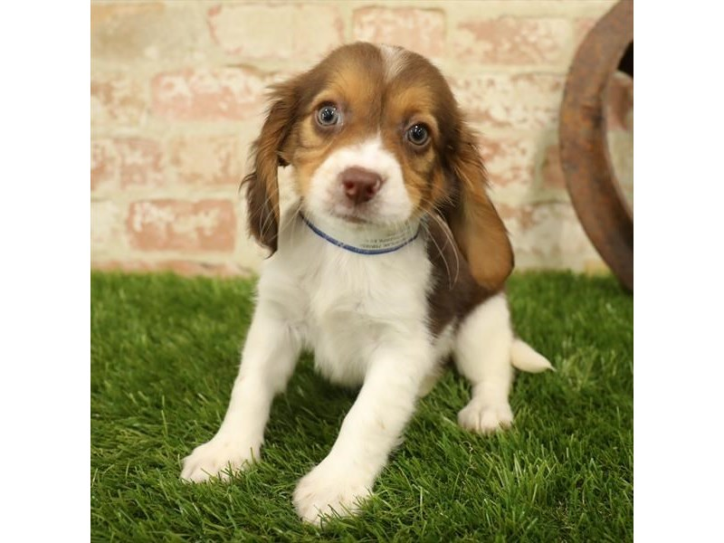 Beagle-DOG-Female-Chocolate / White-2731227-Petland Mall of Georgia