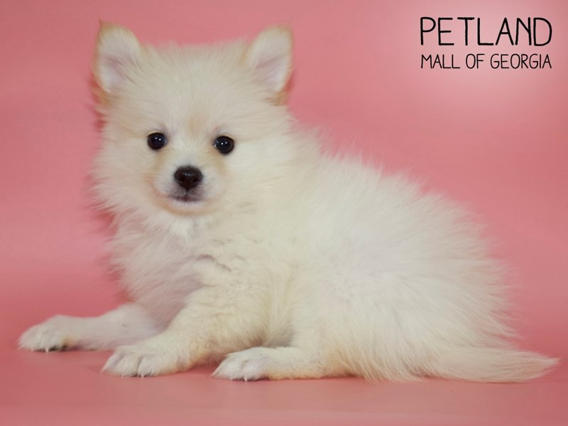 Pomeranian-Female-Cream-2731224-Petland Mall of Georgia