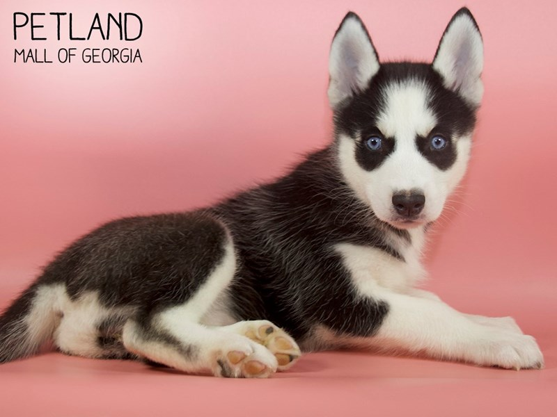Siberian Husky-Female-Black & White-2727011-Petland Mall of Georgia