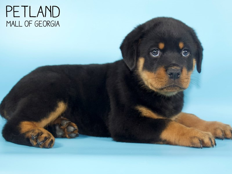 Rottweiler-Male-Black and Tan-2727030-Petland Mall of Georgia