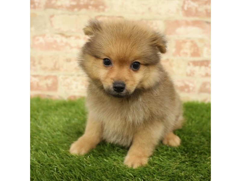 Pomeranian-Male-Orange Sable-2738359-Petland Mall of Georgia