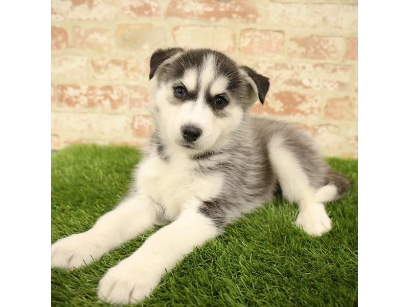 Siberian Husky-Male-Black / White-2738410-Petland Mall of Georgia