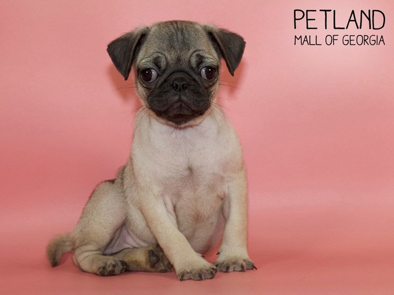 Pug-Female-Fawn-2738408-Petland Mall of Georgia