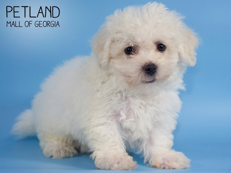 Bichon Frise-Male-White-2738350-Petland Mall of Georgia