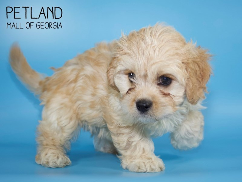 Cavachon-Male-RED-2734235-Petland Mall of Georgia