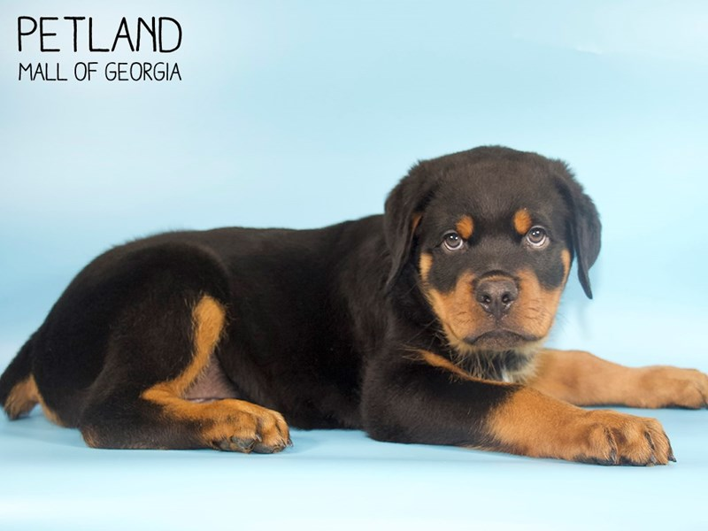 Rottweiler-Male-Black Tan-2734171-Petland Mall of Georgia