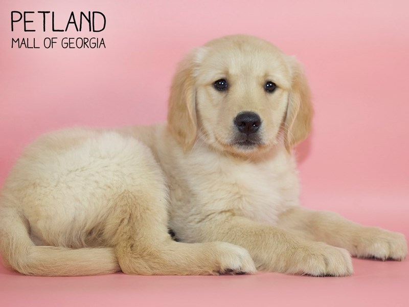 Golden Retriever-Female-Golden-2734194-Petland Mall of Georgia