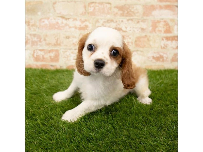 Cavalier King Charles Spaniel-Female-Blenheim-2745801-Petland Mall of Georgia