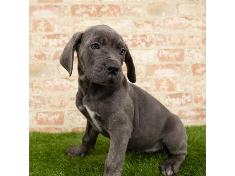 Cane Corso-Female-Black-2745921-Petland Mall of Georgia