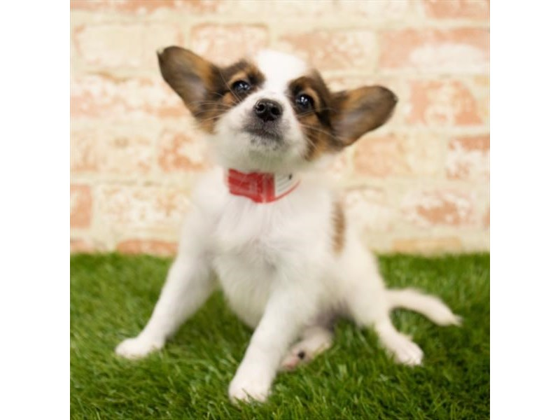 Papillon-Male-Sable / White-2745990-Petland Mall of Georgia