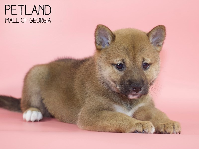 Shiba Inu-DOG-Female-rd sesme-2746400-Petland Mall of Georgia