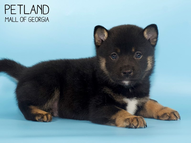 Shiba Inu-Male-blk tn & wh-2746397-Petland Mall of Georgia
