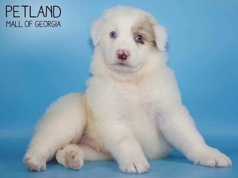 Australian Shepherd-Male-mrl-2746281-Petland Mall of Georgia