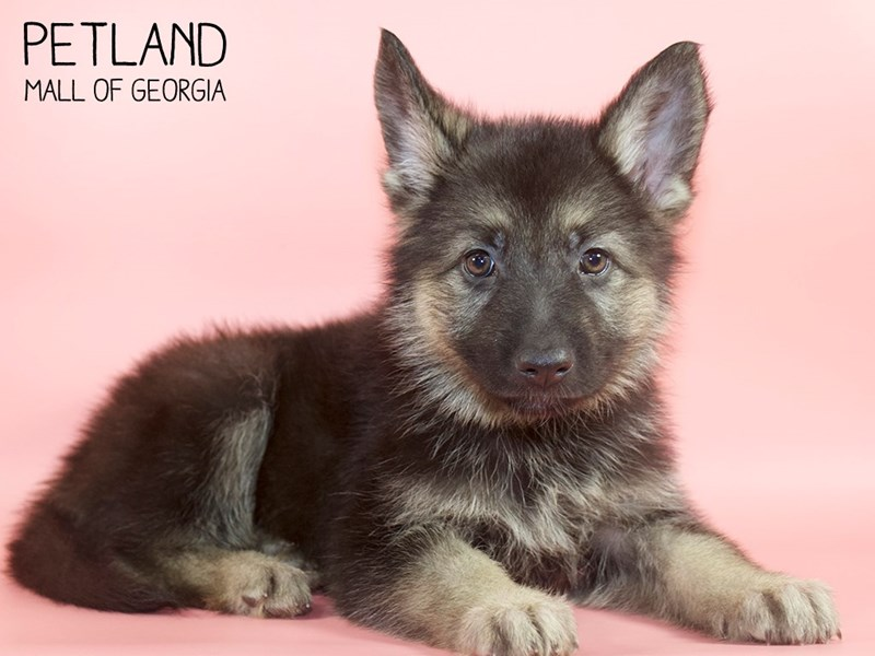 German Shepherd-DOG-Female-Black / Tan-2745327-Petland Mall of Georgia