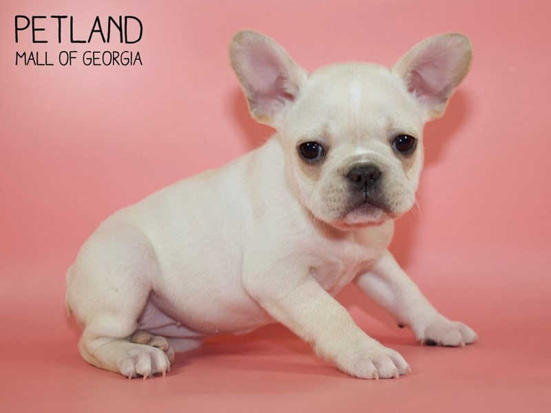 French Bulldog-Female-Cream-2752806-Petland Mall of Georgia
