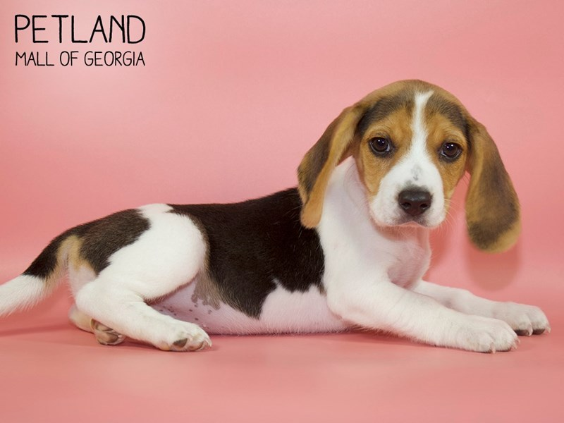 Beagle-Female-Black White / Tan-2752791-Petland Mall of Georgia