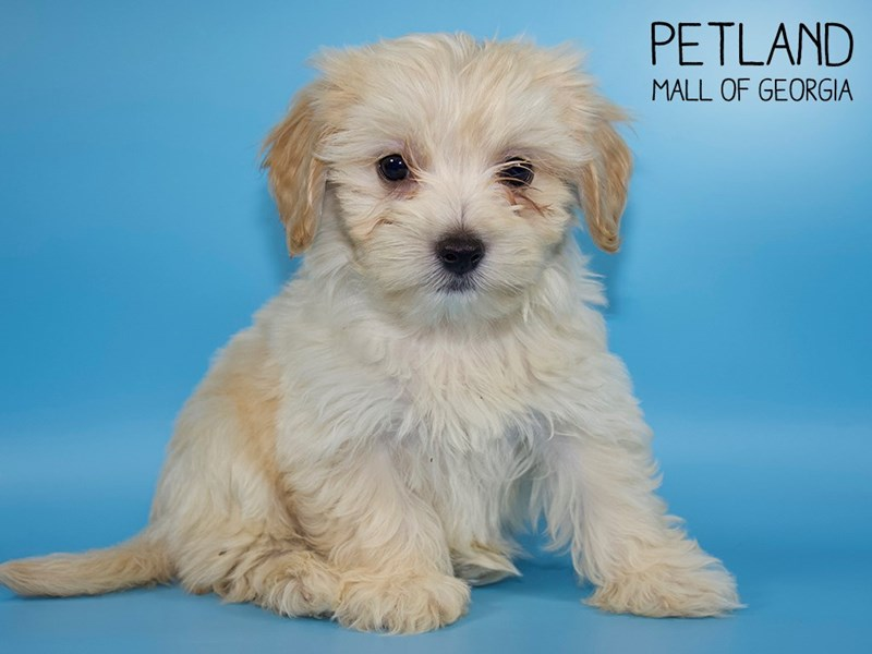 Maltichon-Male-CREAM WHITE-2748714-Petland Mall of Georgia
