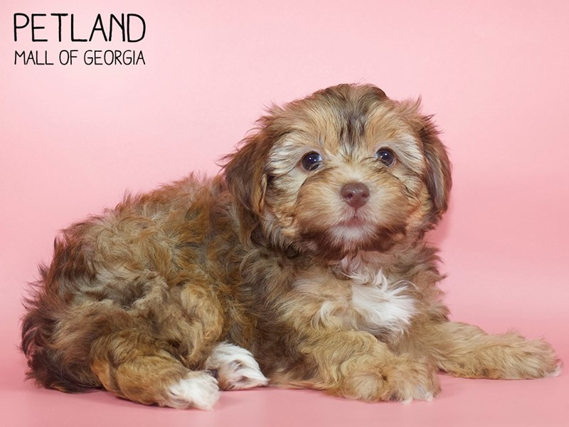Yorkiepoo-DOG-Female-RED-2748749-Petland Mall of Georgia