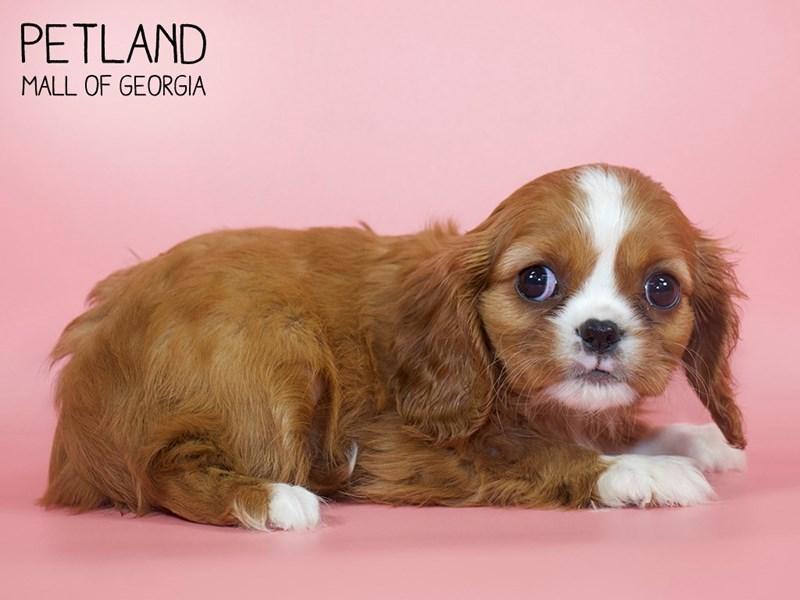 Cavalier King Charles Spaniel-Female-Ruby-2748870-Petland Mall of Georgia