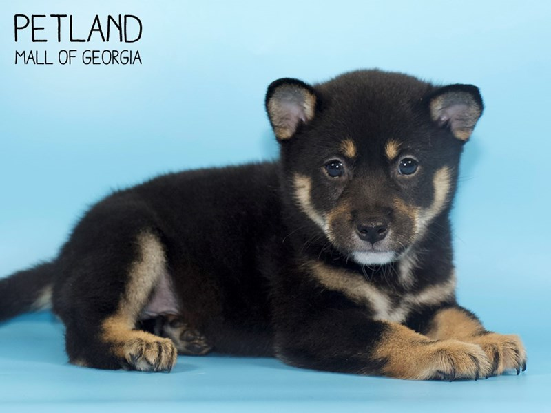 Shiba Inu-Male-blk tn & wh-2746396-Petland Mall of Georgia