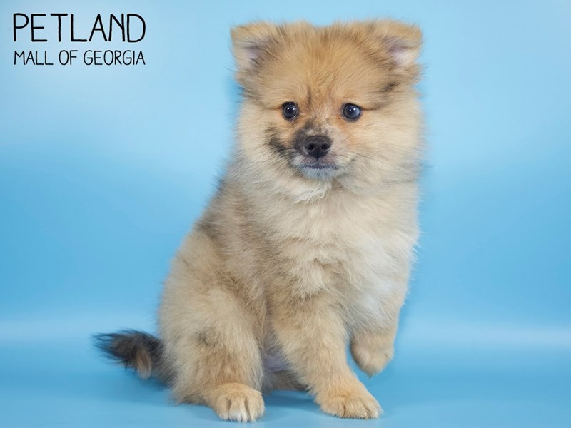 Pomeranian-Male-Orange Sable-2752803-Petland Mall of Georgia