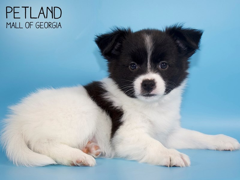 Papillon-Male-Black / White-2752788-Petland Mall of Georgia