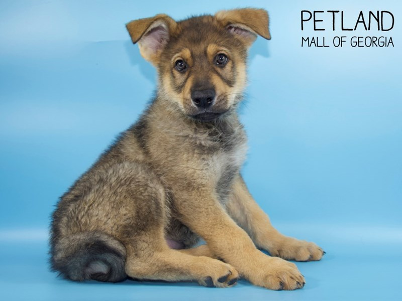 German Shepherd-Male-Black Tan-2748772-Petland Mall of Georgia