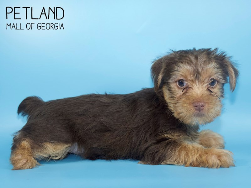 Yorkshire Terrier-DOG-Male-CHOC TAN-2748818-Petland Mall of Georgia