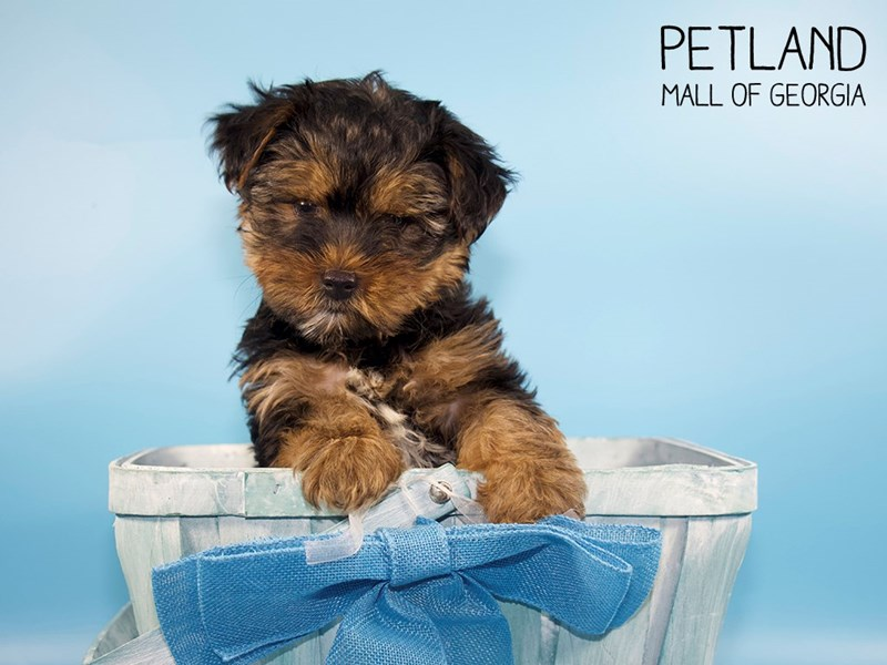 Yorkshire Terrier-DOG-Male-Black / Tan-2745800-Petland Mall of Georgia