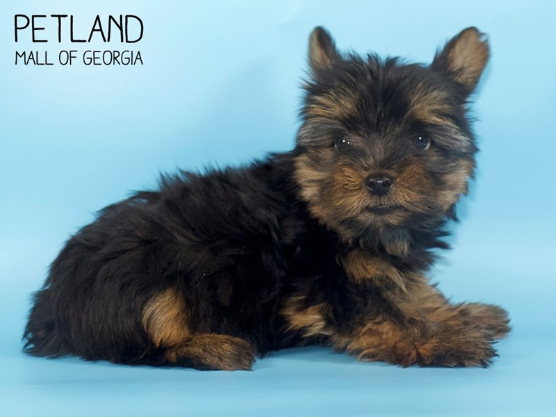 Yorkshire Terrier-Male-Black / Tan-2745356-Petland Mall of Georgia