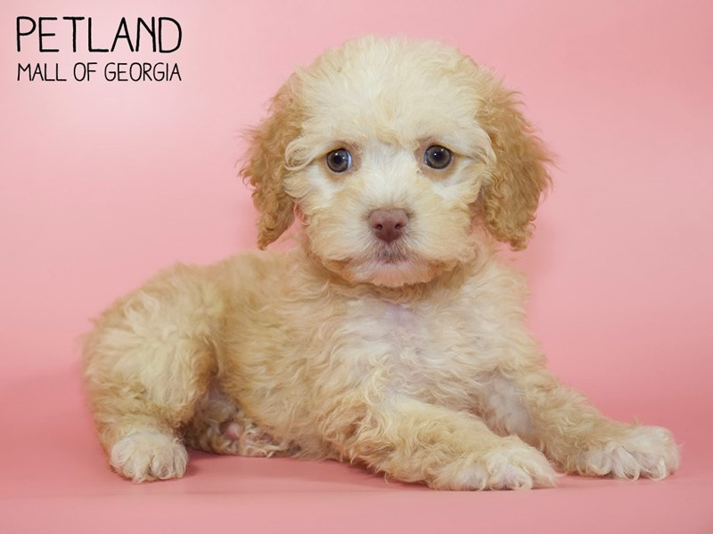 Cockapoo-DOG-Female-Apricot-2760804-Petland Mall of Georgia