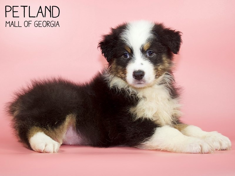 Australian Shepherd-Female-Black-2760799-Petland Mall of Georgia