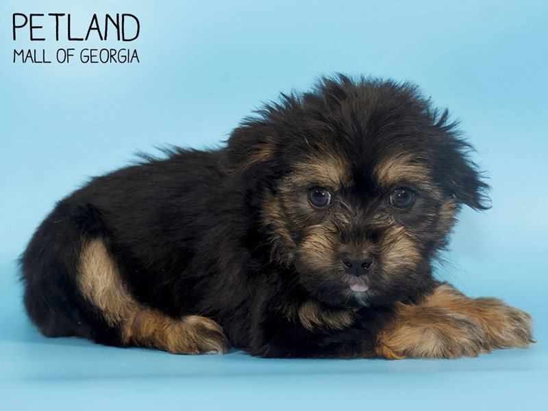 Yorkshire Terrier-Male-Black / Tan-2760796-Petland Mall of Georgia