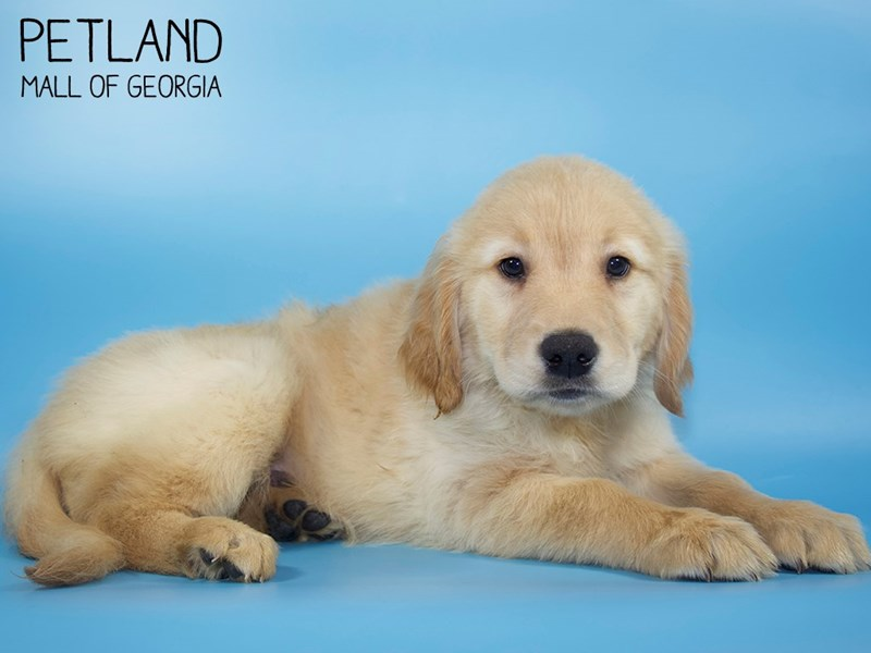 Golden Retriever-Male-Golden-2760795-Petland Mall of Georgia