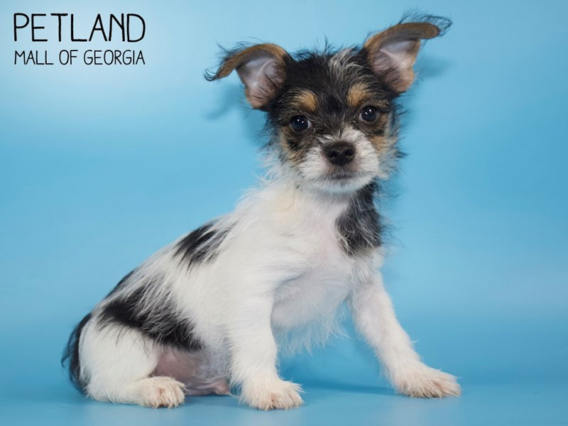 Morkie-Male-Parti-2759646-Petland Mall of Georgia