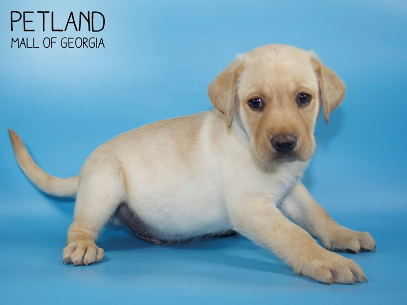 Labrador Retriever-DOG-Male-Yellow-2756788-Petland Mall of Georgia