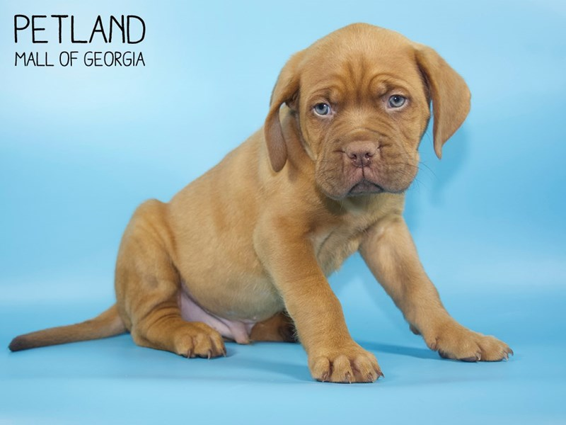 Dogue De Bordeaux-Male-Red-2756786-Petland Mall of Georgia