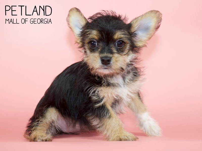 Morkie-Female-Black / Tan-2756780-Petland Mall of Georgia