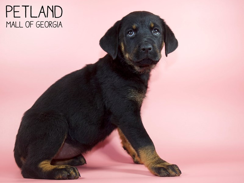 Rottweiler-Female-Black / Rust-2756749-Petland Mall of Georgia