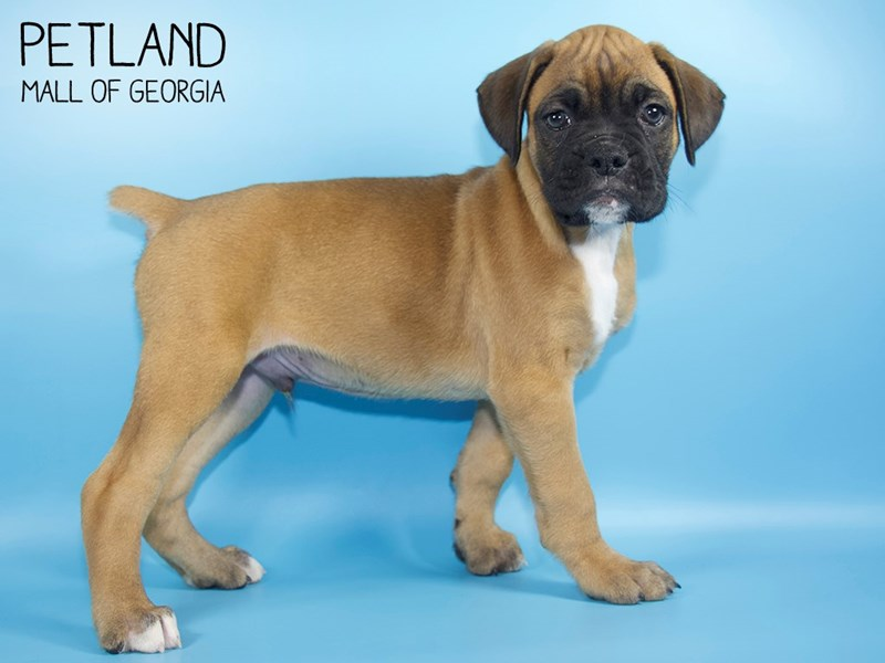 Boxer-Male-Fawn-2768389-Petland Mall of Georgia