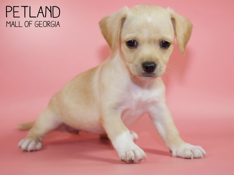 Chihuahua-DOG-Female-Fawn-2768385-Petland Mall of Georgia