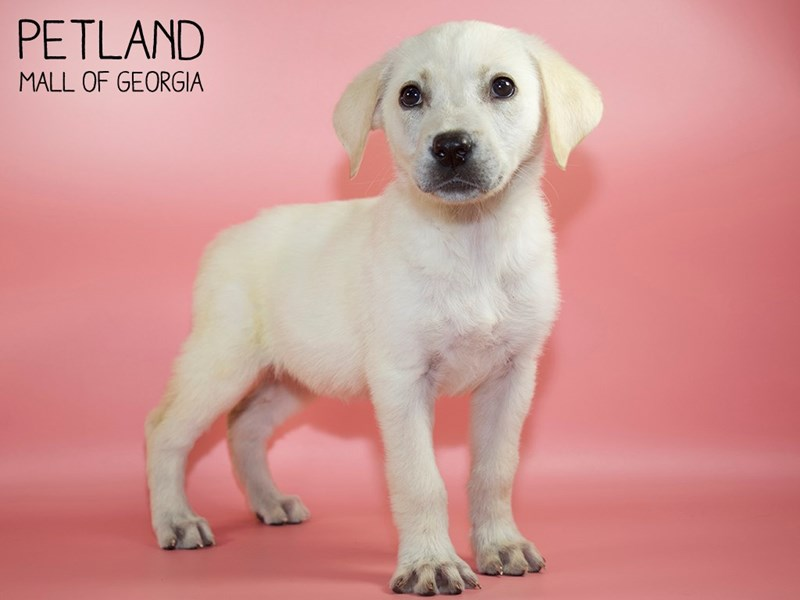 Labrador Retriever-Female-Yellow-2768276-Petland Mall of Georgia