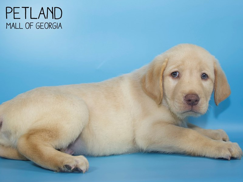 Labrador Retriever-Male-Yellow-2763998-Petland Mall of Georgia