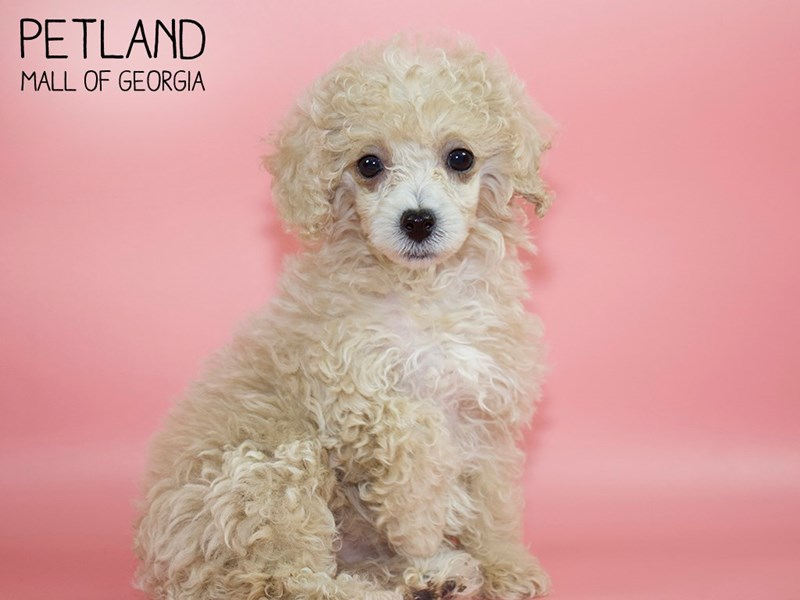 Miniature Poodle-Female-Cream-2756743-Petland Mall of Georgia